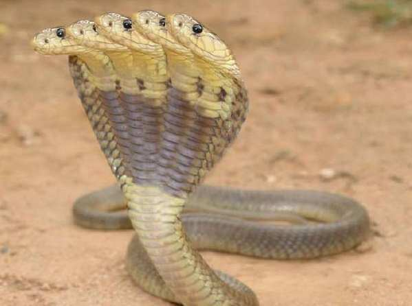 Photos of indian snakes Indian Snakes Images, Stock Photos Vectors Shutterstock