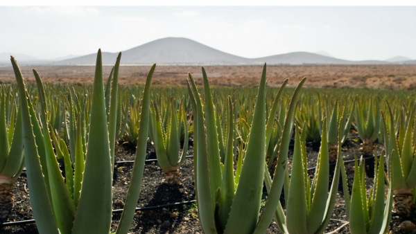 tierra-skies-on-why-they-decided-to-sell-aloe-vera-1480510705