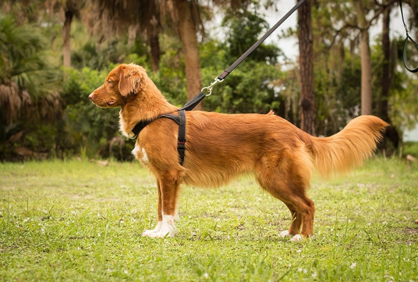 Image of: Fun For Medium Size Dogs The Harness Allows Back Or Front Leash Attachment For Extra Versatility And Features Modern Neoprene Padding For Improved Walking Taconic Route 202 24 Hour Veterinary Hospital Get The Best Highdurability Dog Harness Night Walking Training
