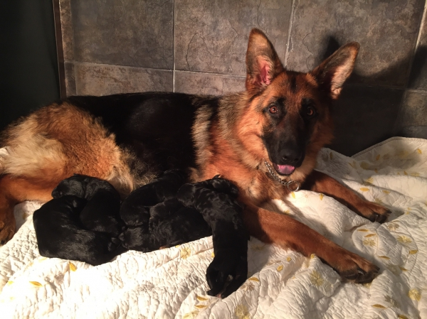 the amazing adult german shepherds trained for personal protection that you can