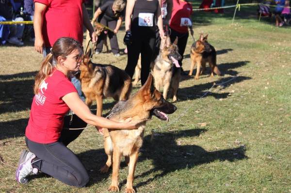 get housetrained intelligent german shepherd puppies with good character from th
