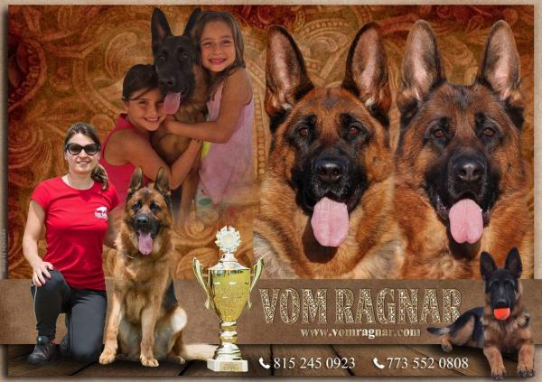 purebred german shepherd puppies with good character from vom ragnar chicago ill