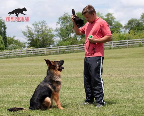 get the best chicago top rated gsd basic amp advanced obedience dog training fro