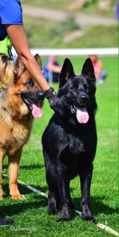 milwaukee wi purebred puppies german shepherd dog for sale amp dog training clas