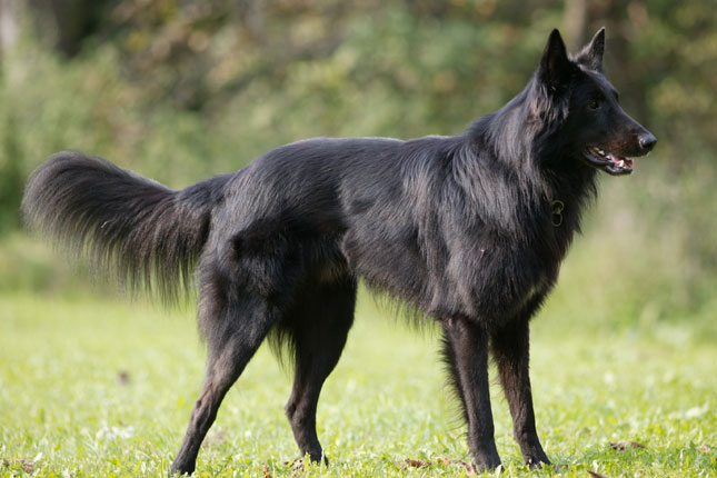long haired dog breeds Belgian sheepdog