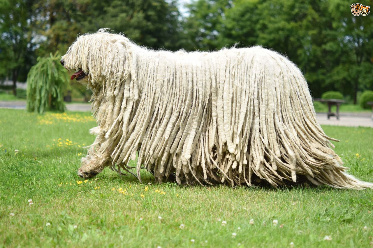 long haired dog breeds bergamasco