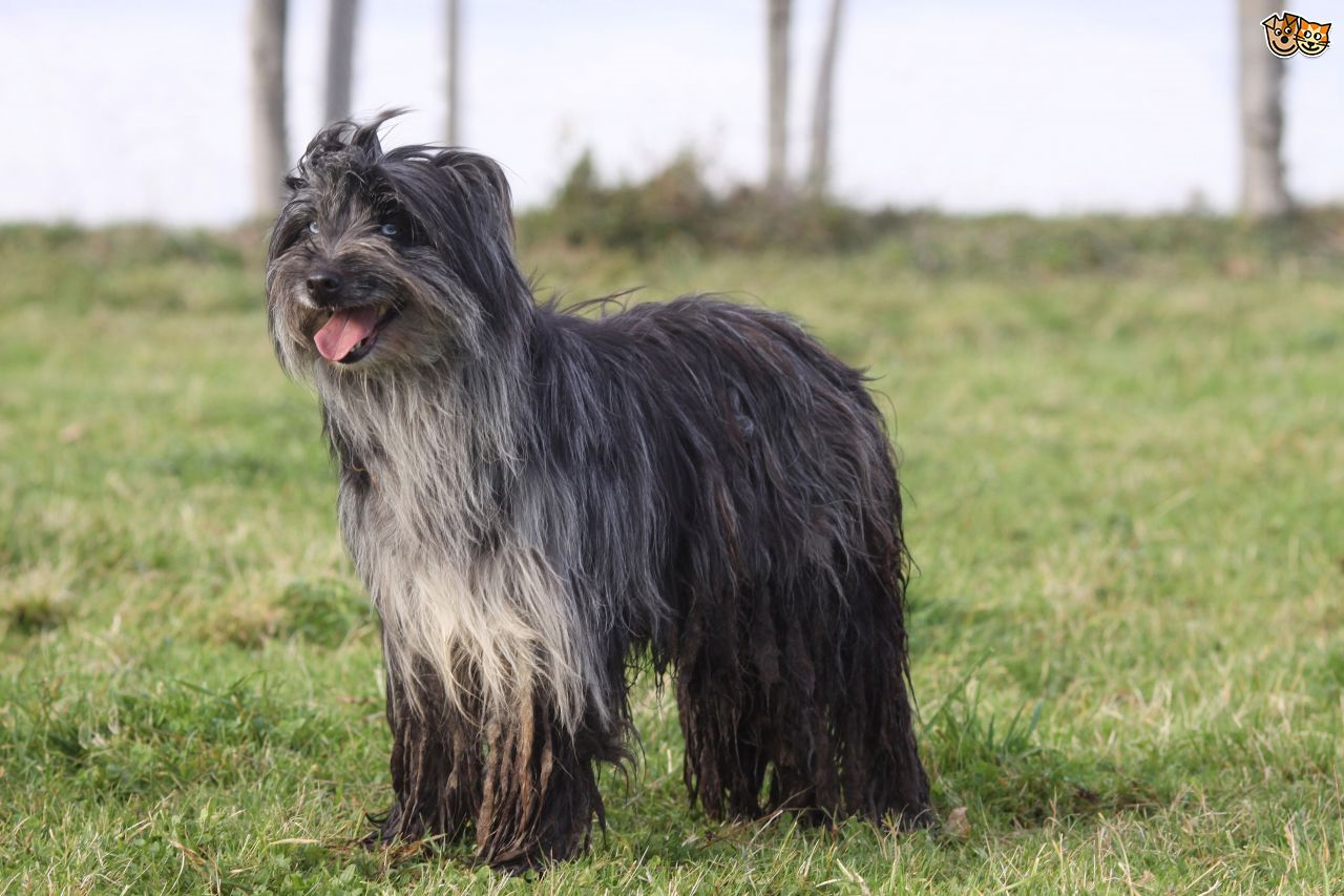 long haired dog breeds pyreen sheepdog