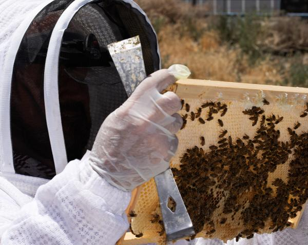 discover how beekeeping can help local veterans with ptsd through this sparks ne