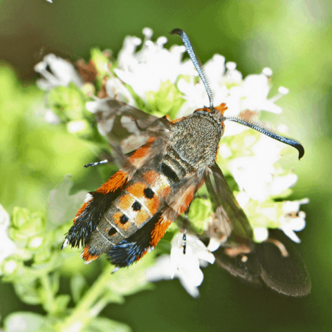 how to prevent control and get rid of squash vine borer moths organically