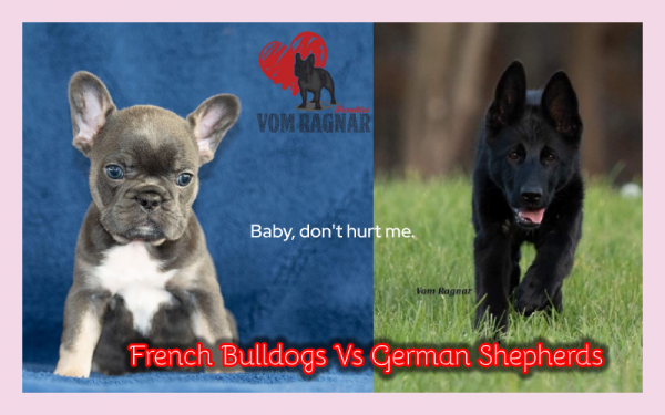 chicago top french bulldogs amp german shepherds breeders announce new litters a