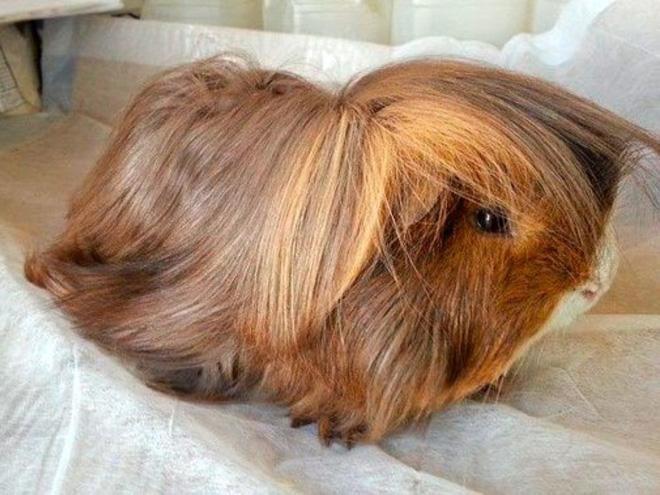 guinea pig haircut photo