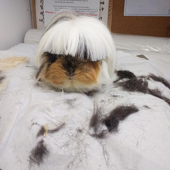 guinea pig photo haircut