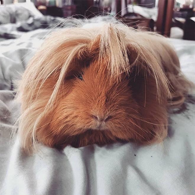 guinea pig haircut